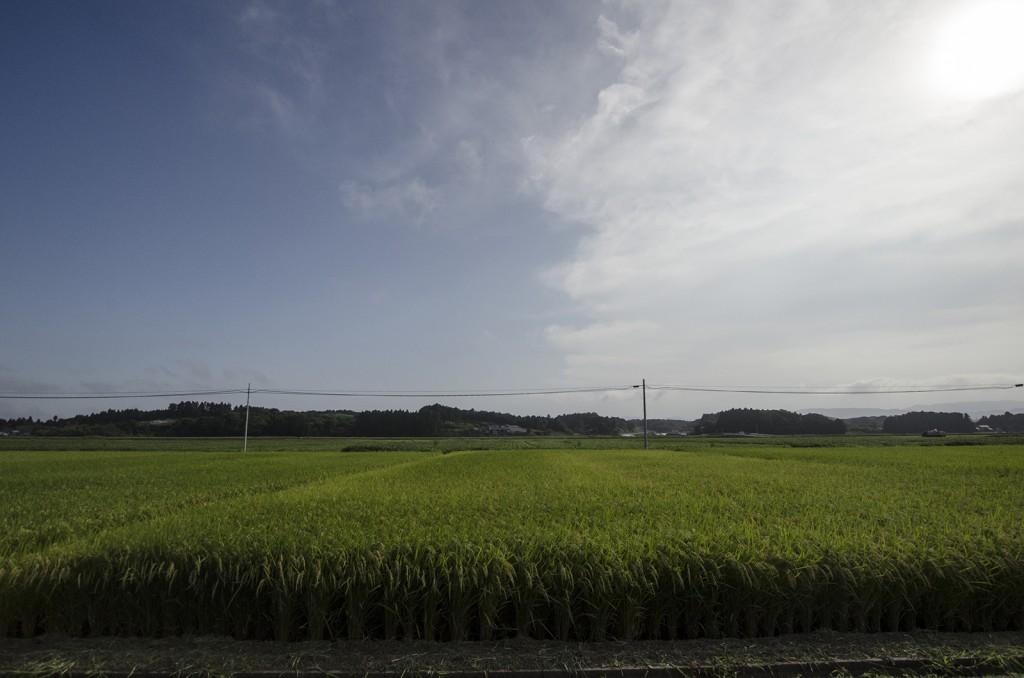 松川浦付近の田んぼ。売りに出すのではなく、自分らで食べるために育てているそうだ。